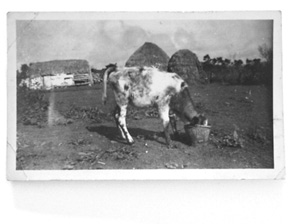 Calf at Bucket
